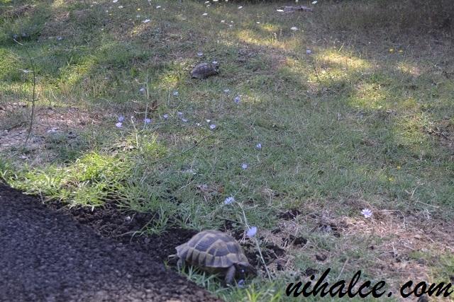 Çatalca Ormanlı Köyü Kara Kaplumbağaları