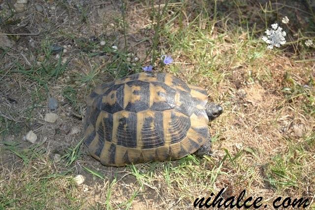 Çatalca Ormanlı Köyü Kara Kaplumbağası